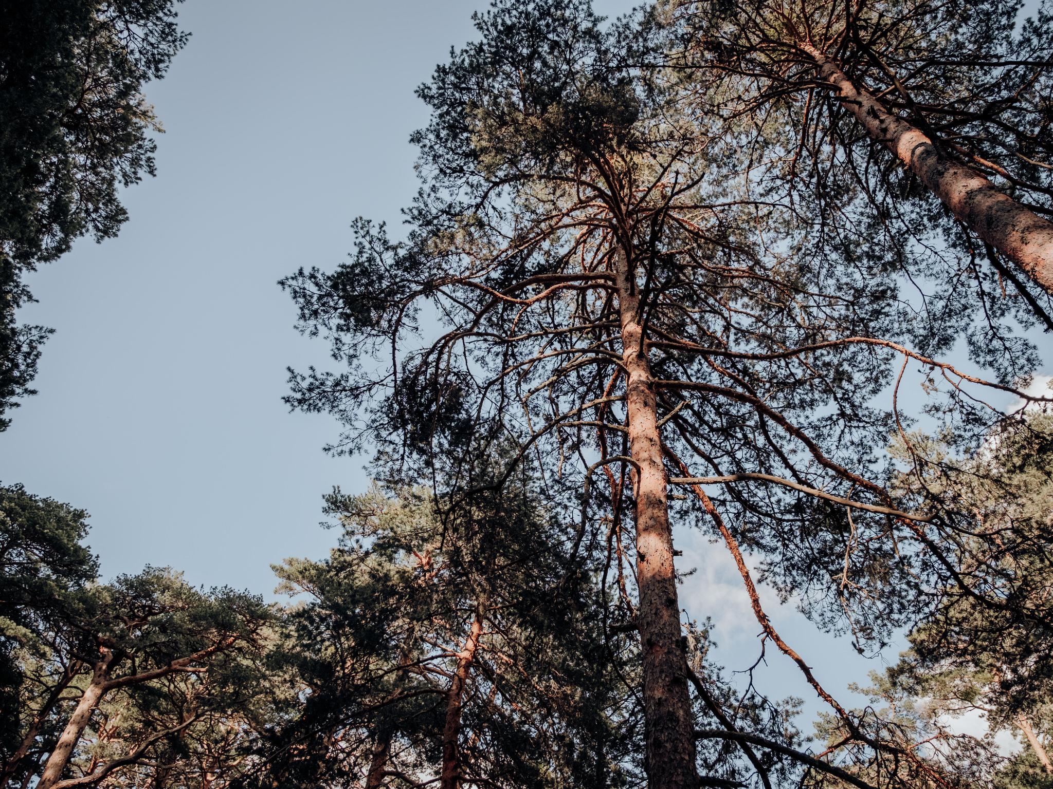 pinos-naturaleza